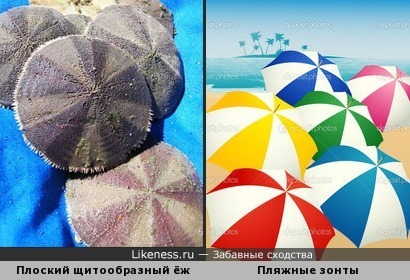 Скопление плоских щитообразных морских ежей напомнило пляжные зонтики