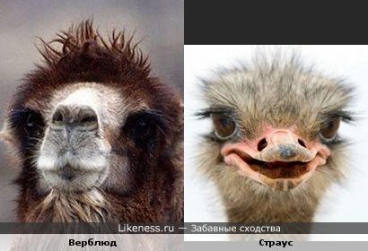 Верблюд и страус похожи глазками