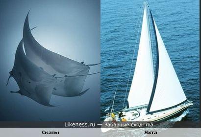 Скаты похожи на паруса