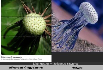 Медуза похожа на облетевший одуванчик