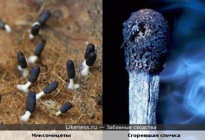 Миксомицеты - экзотические слизистые грибы похожи на сгоревшие спички
