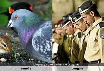 Голубь, благодаря птице сзади, похож на солдата в берете