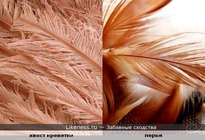 Хвост креветки под микроскопом похож на птичьи перья