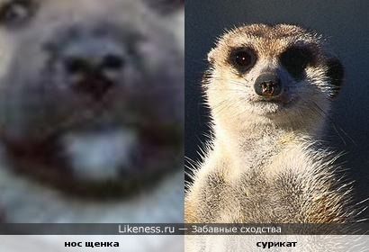 Нос щенка похож на мордочку суриката )))))