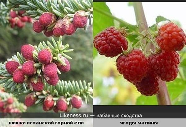 Шишки испанской горной ели похожи на ягоды малины