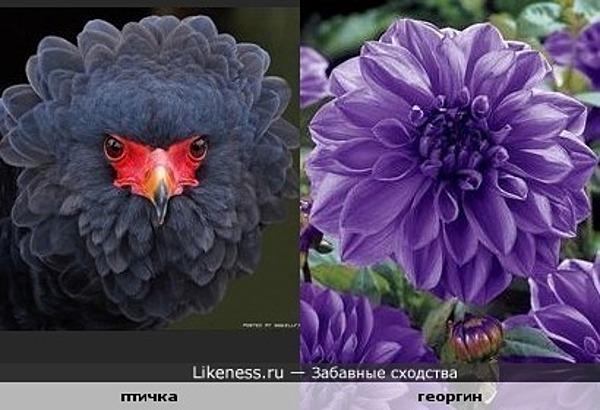 Птица похожа на георгин