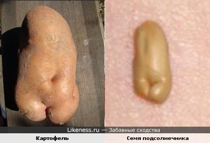 Картофель и семя подсолнечника похожи соблазнительными формами