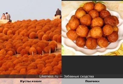 Пушистые кустики кохии осенью похожи на румяные пончики