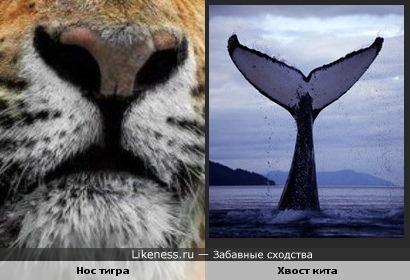 Нос тигра похож на хвост кита