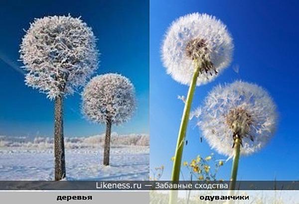 Деревья в снегу похожи на одуванчики