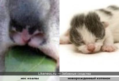 Нос коалыпохож на мордочку новорожденного котенка