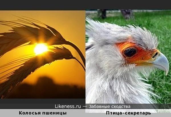 Колосья пшеницы похожи на птицу