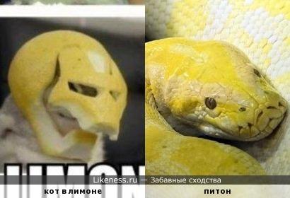 кот в лимоне и питон