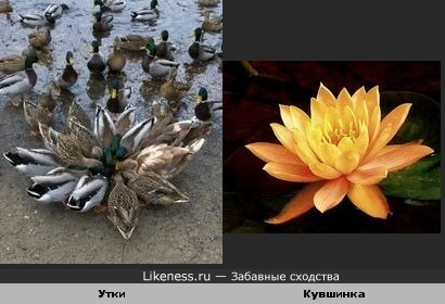 Утки похожи на цветок