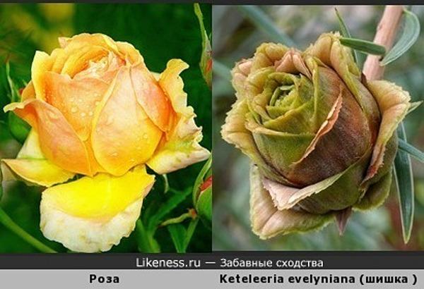 Шишка похожа на розу
