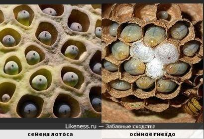 Семена лотоса похожи на осиное гнездо