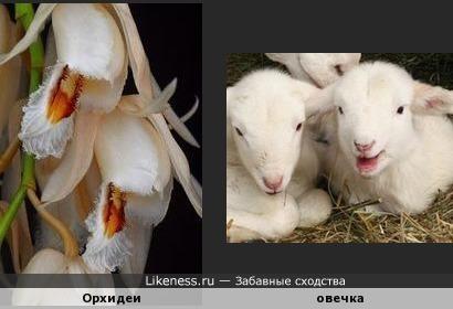 Орхидеи напомнили овечек