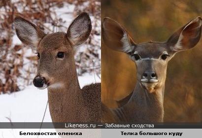 Самки белохвостого оленя и антилопы куду ох, как похожи!