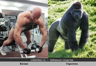 качок похож на гориллу