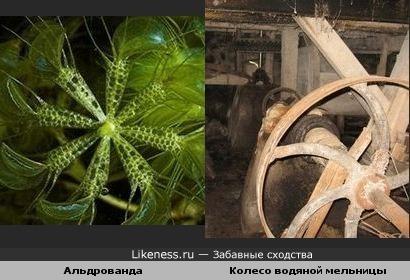 морское растение имеет форму, похожую на колесо водяной мельницы