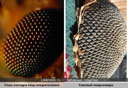 глаз комара под микроскопом напоминает спелый подсолнух)))