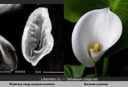 данная клетка под микроскопом напомнила мне цветок белой каллы