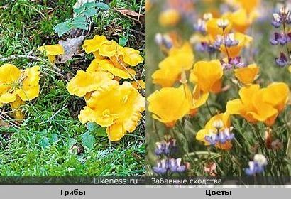 грибы лисички похожи на желтенькие цветочки))