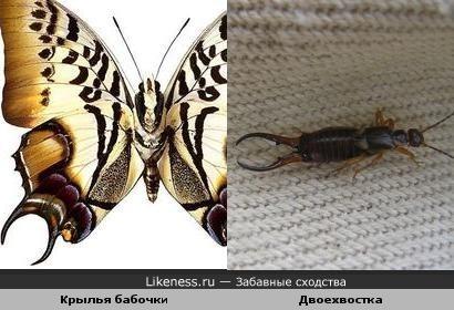 нижнее крылышко этой бабочки сильно напоминает хвост двоехвостки