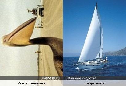клюв пеликана вдруг напомнил парус яхты))