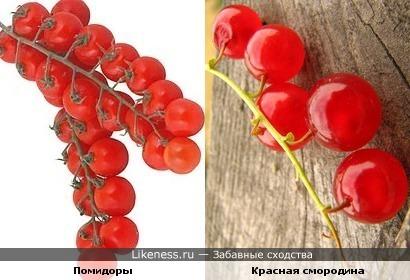 эти помидорчики напомнили красную смородину