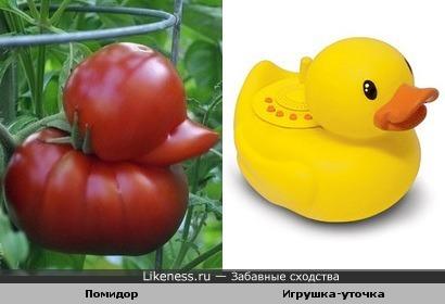 этот помидор похож на уточку