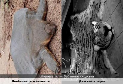 необычное животное семейства кротовых похоже на детский коврик)