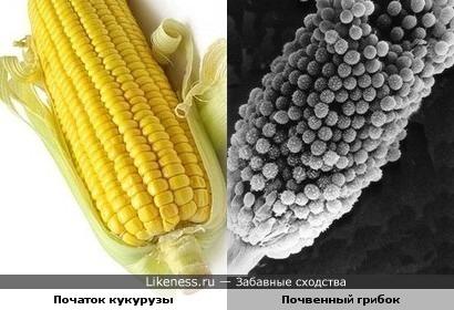 этот микроорганизм напоминает початок кукурузы