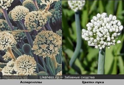 плесневые грибы аспергиллы похожи на цветки лука. вариант №2