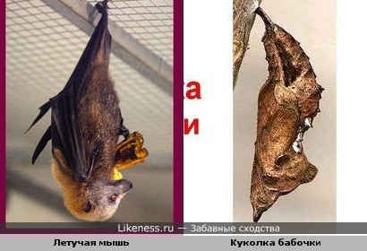 Летучая мышь напомнила куколку бабочки))