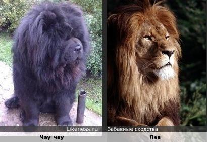 чау-чау - царь зверей?)))
