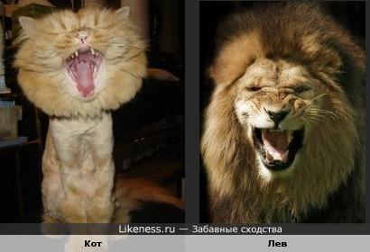 котенок хочет быть похожим на льва)))))