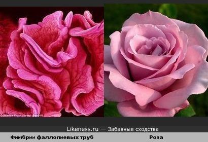 Увеличенные в 21 раз фимбрии фаллопиевых труб напоминают розу