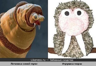 личинка синей мухи похожа на смешного моржа-игрушку