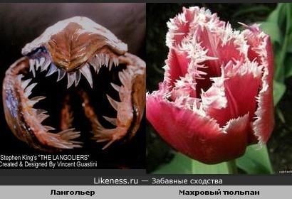 махровый тюльпан похож на лангольера)))