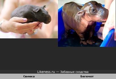 Бритые морские свинки выглядят так же, как детёныши бегемотов. Отсюда www.factroom.ru/facts/5112