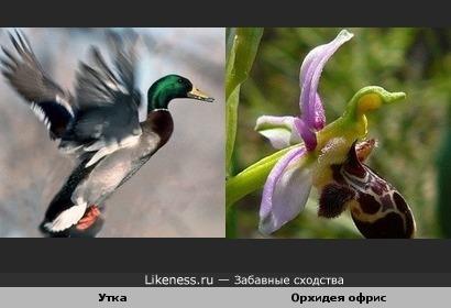 Орхидея офрис похожа на утку