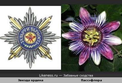 Цветок пассифлоры (страстоцвет, ковалерская звезда) похож на Звезду Ордена св. Андрея Первозванного