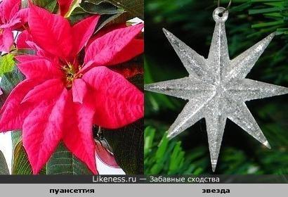 Цветок пуансеттия похож на звезду.