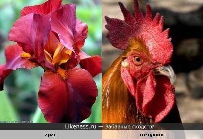 Цветок ирис похож на петушка.