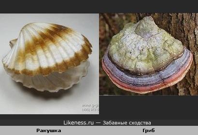 Ракушка и гриб похожи.