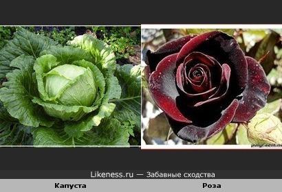 Белокачанная капуста похожа на розу.