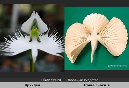 Эта орхидея похожа на Птицу счастья