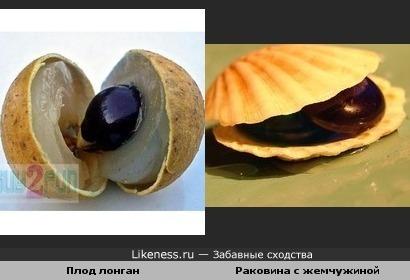 Плод вьетнамского дерева лонган напомнил раковину с жемчужиной