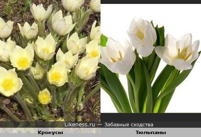 Крокусы немного похожи на тюльпаны